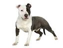staffordshire-terrier-v1png